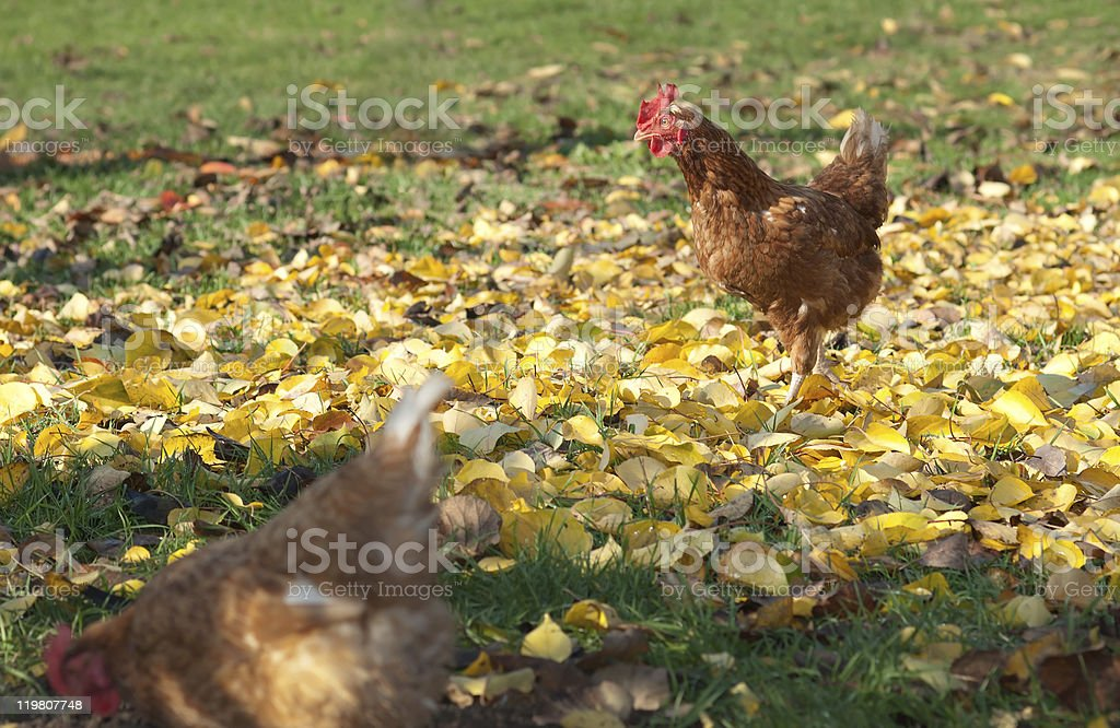 Hens  in the farm stock photo