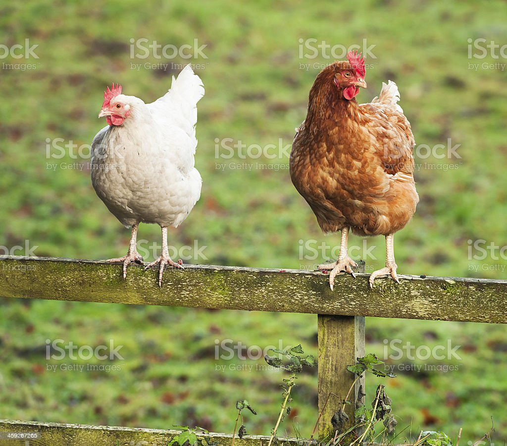 Hens Looking Away royalty-free stock photo