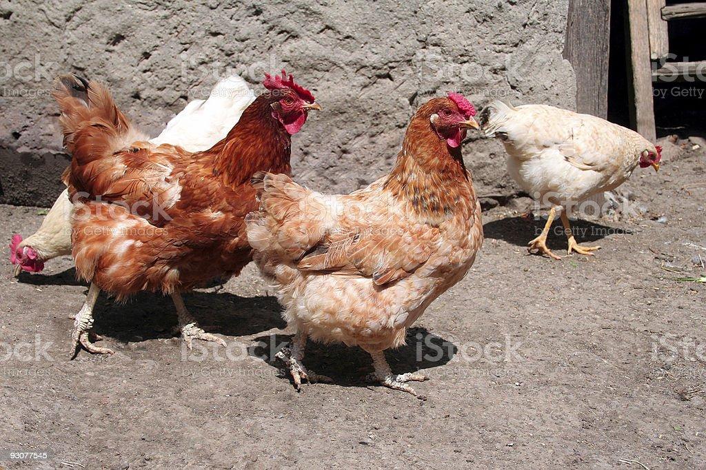 hens royalty-free stock photo