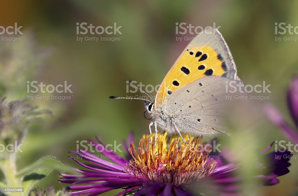 Heodes virgaureae butterfly royalty-free stock photo