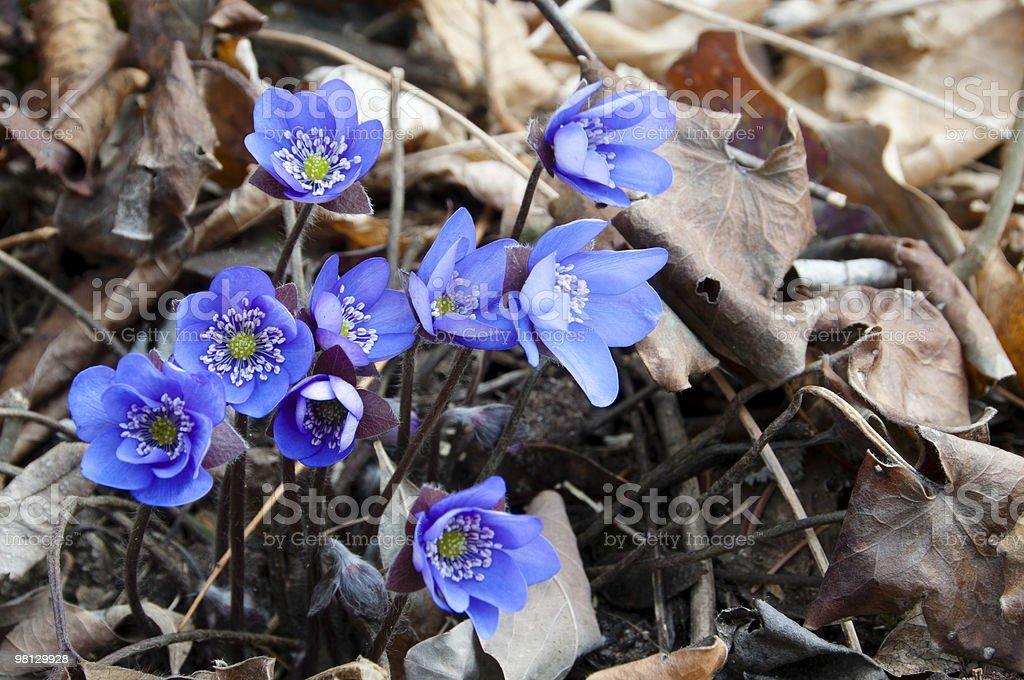 Hepatica, beautiful spring flower stock photo