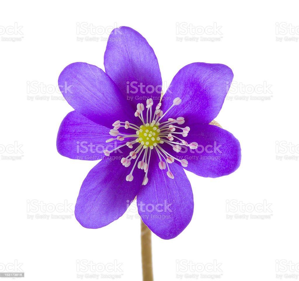 hepatica flower royalty-free stock photo