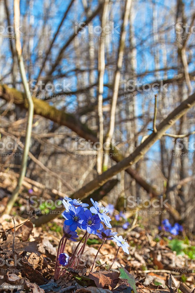 Hepatica flowers that in early spring stock photo