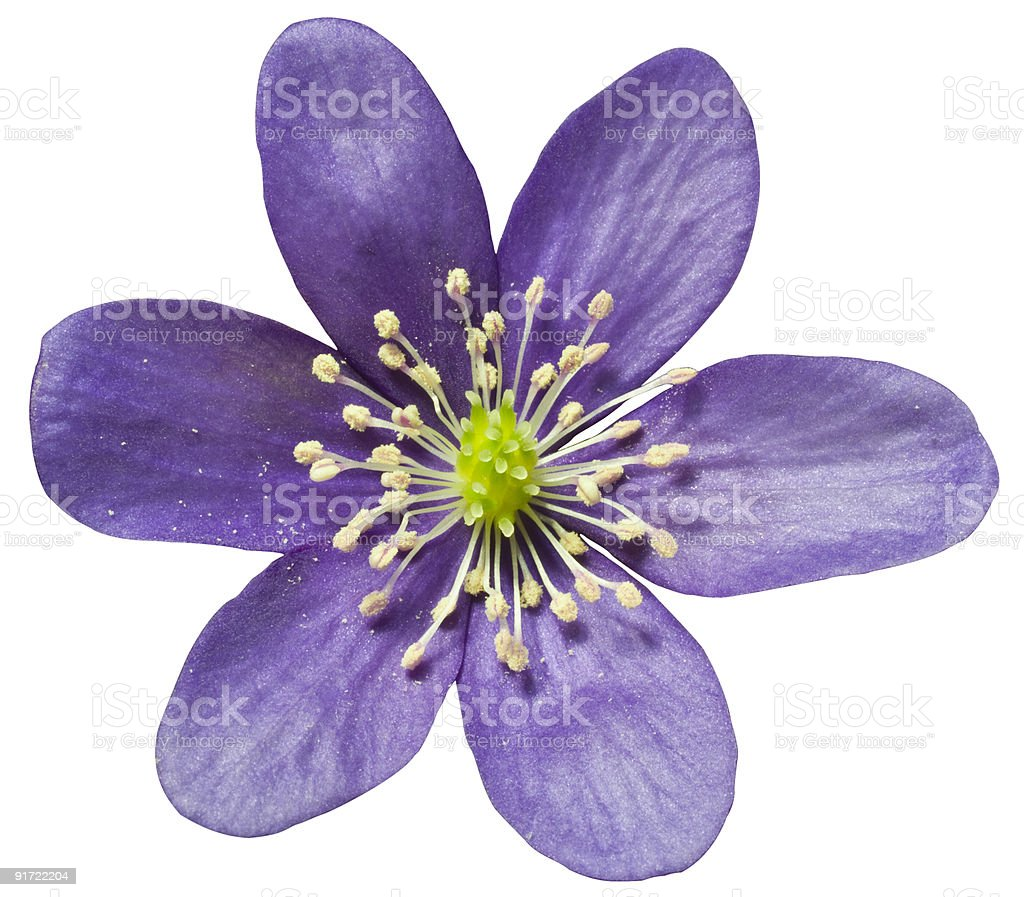 Hepatica isolated on white royalty-free stock photo