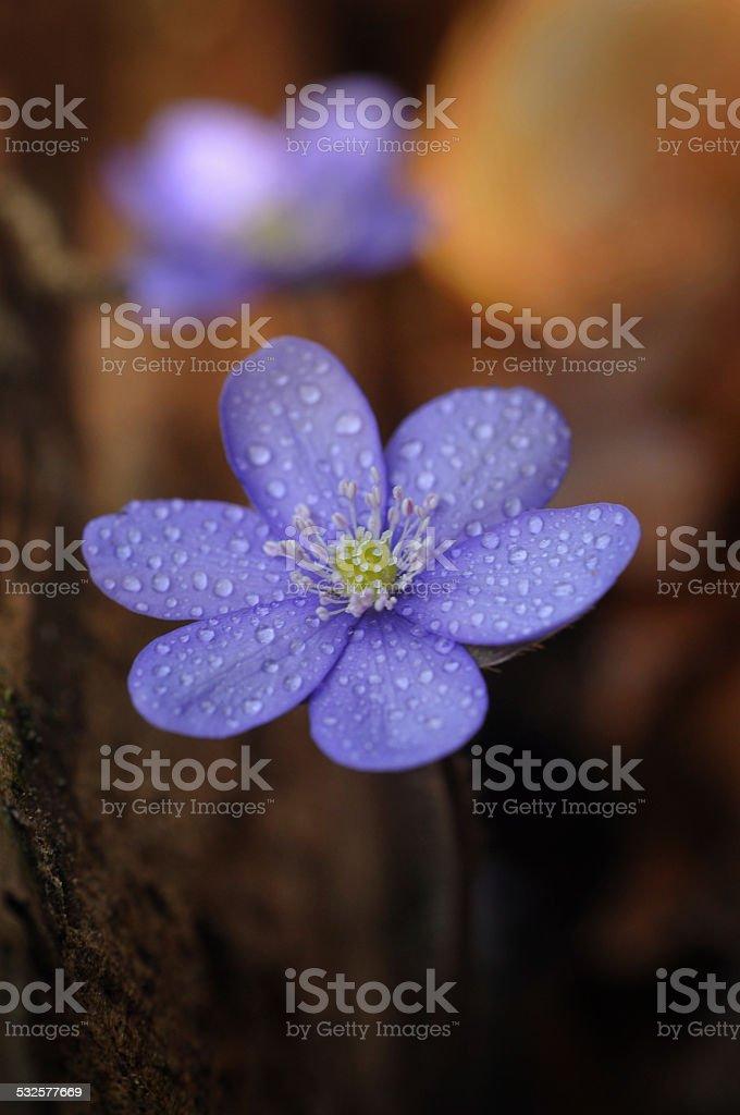 Hepatica nobilis – Anemone hepatica stock photo