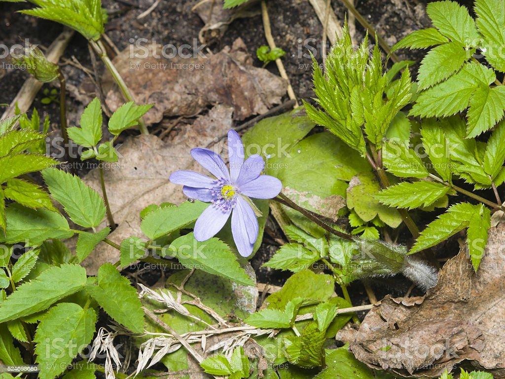 Hepatica nobilis, liverleaf, liverwort, blooming, dry leaves, macro, selective focus stock photo