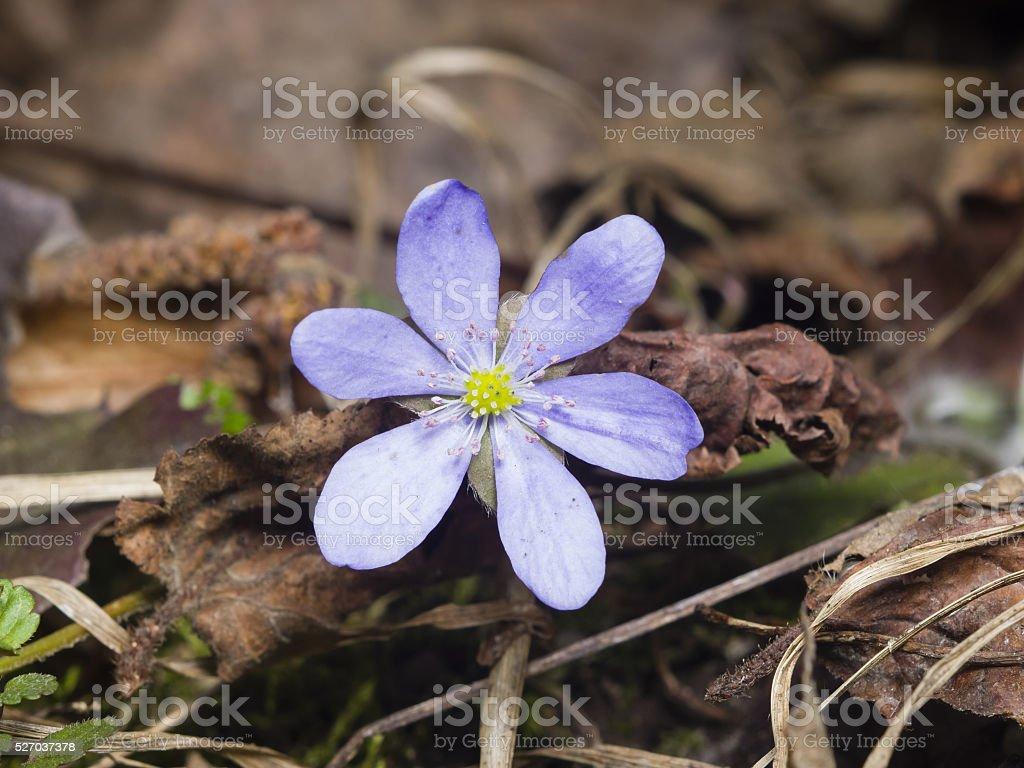 Hepatica nobilis, liverleaf or liverwort, blooming in dry leaves, macro stock photo