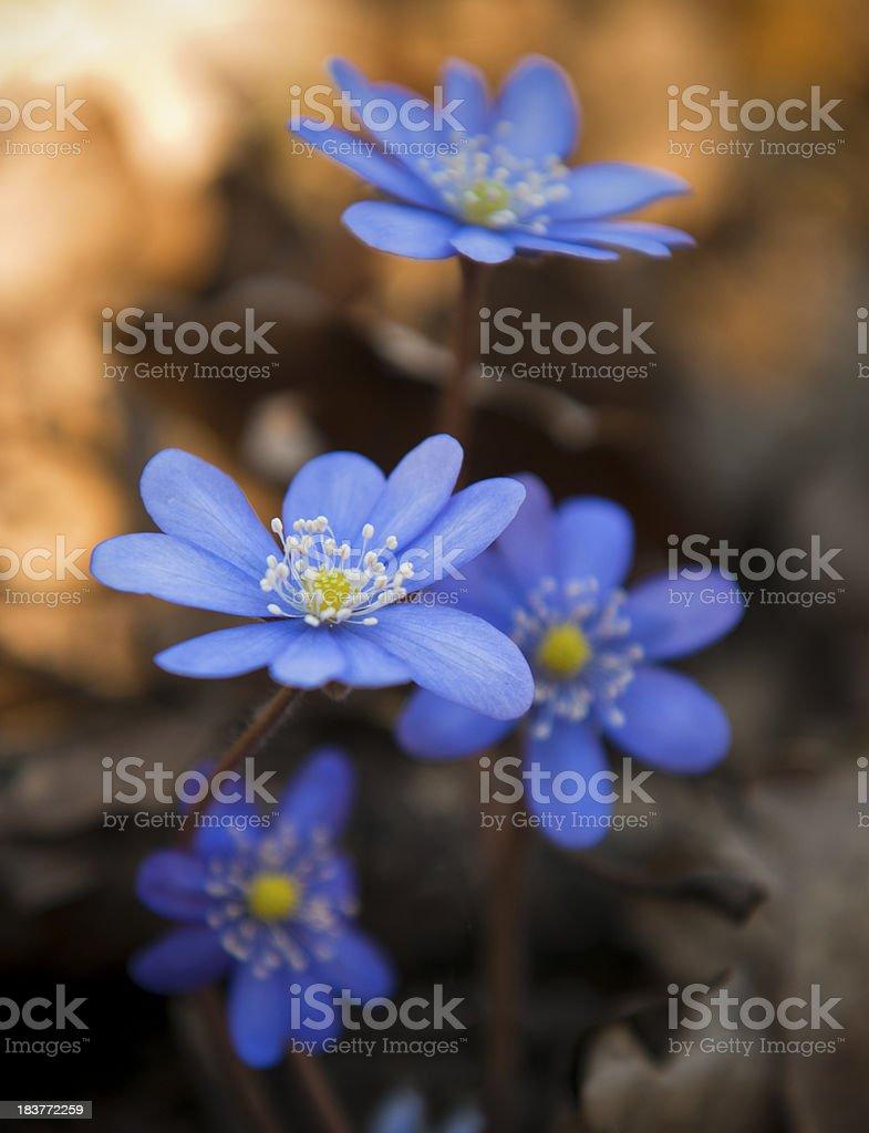 Hepatica nobilis royalty-free stock photo