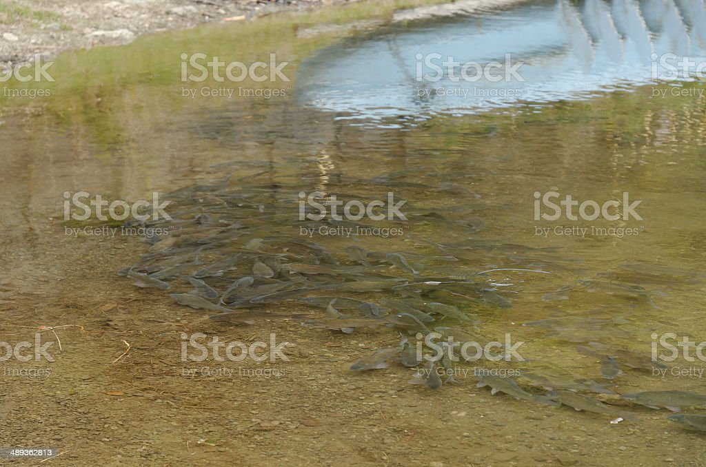 Herabuna (Carassius cuvieri) stock photo