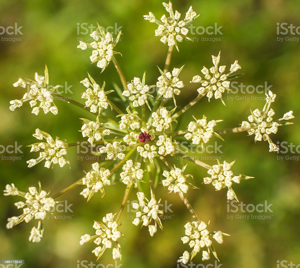 Heracleum sphondylium stock photo