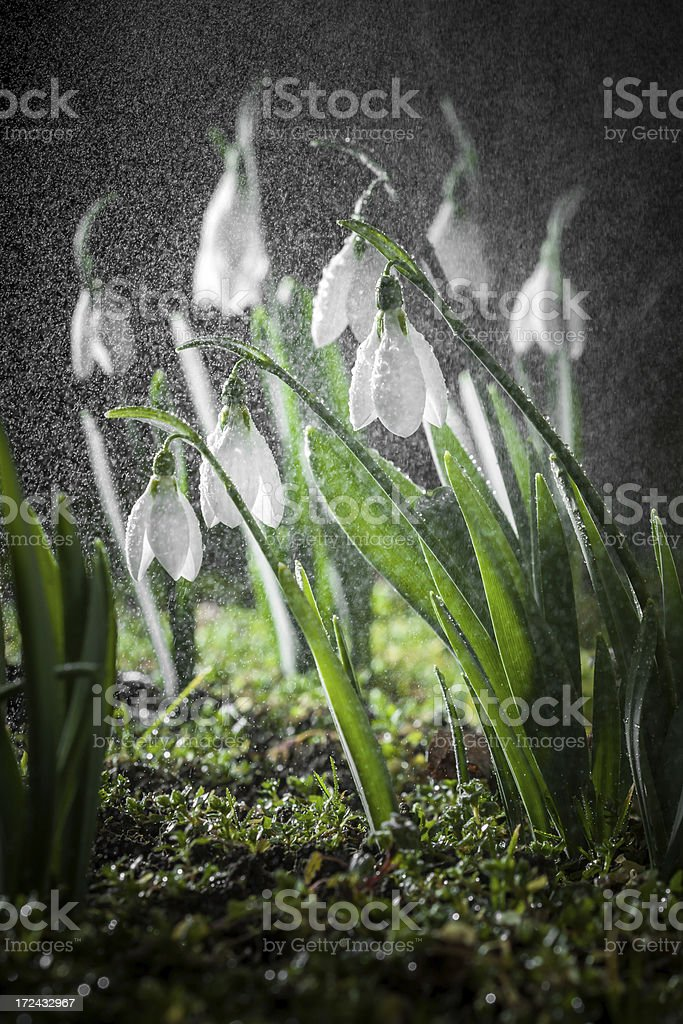 Herald of spring, snowdrop flower royalty-free stock photo