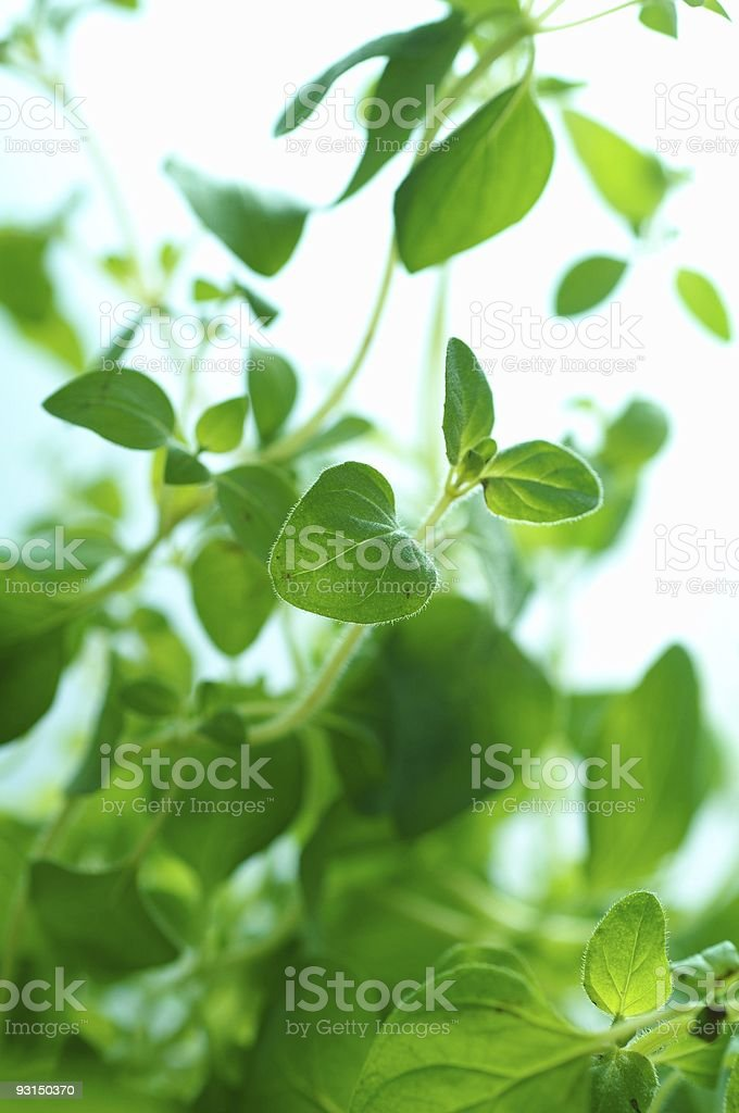 herb 7 royalty-free stock photo