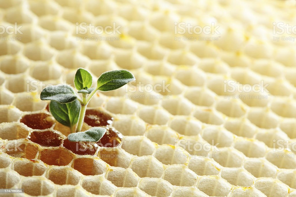 Herb and honey royalty-free stock photo