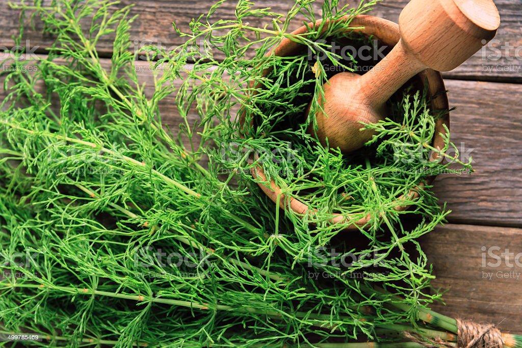 Herb equisetum arvense stock photo