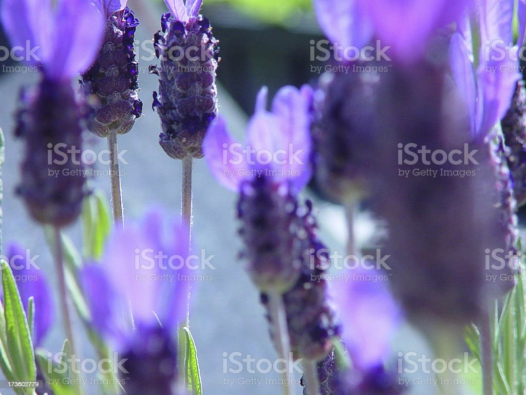 Herb Farm Blooming royalty-free stock photo