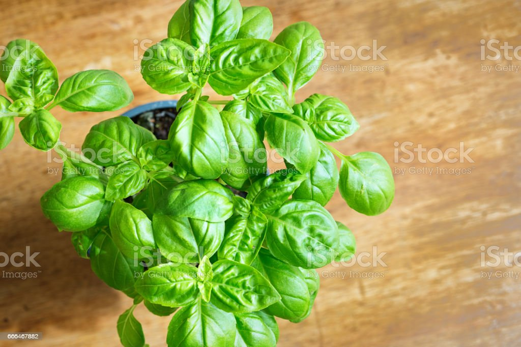 Herb Garden Seedling Basil Plant on Wood Background stock photo