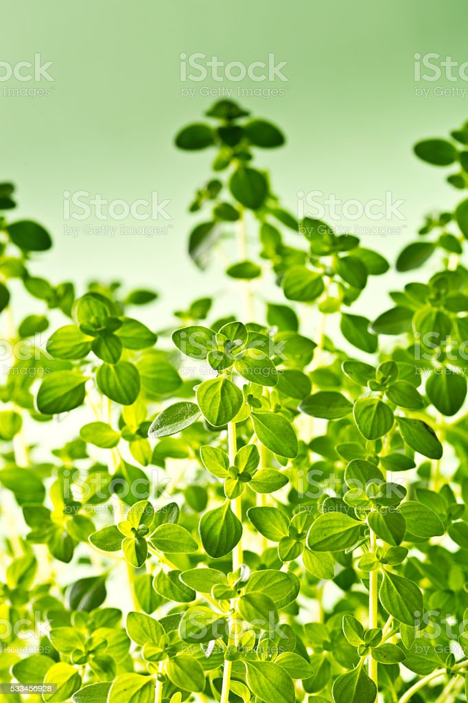 Herb Garden Thyme Plant in Green Background stock photo