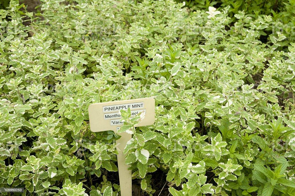 herb mint stock photo