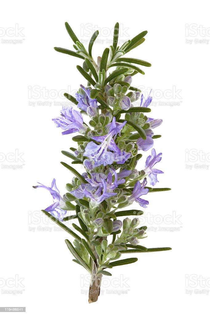 A herb of rosemary flowers for cooking stock photo