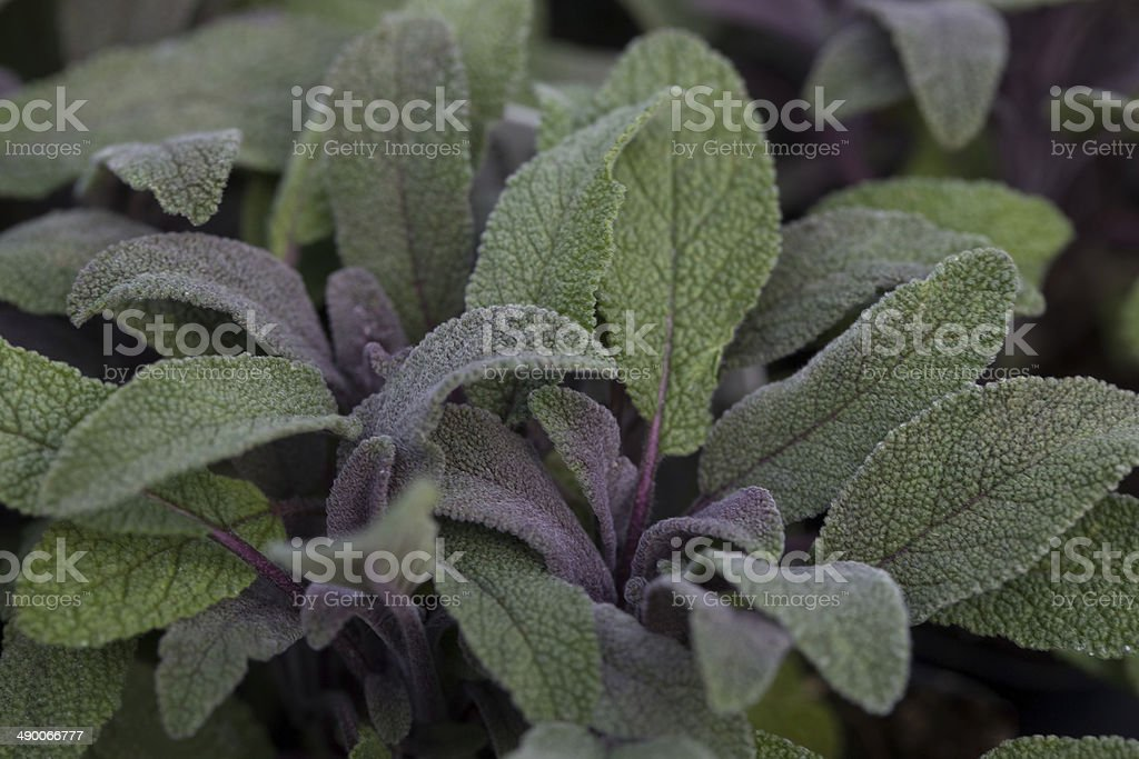herb seedling varieties: purple sage stock photo