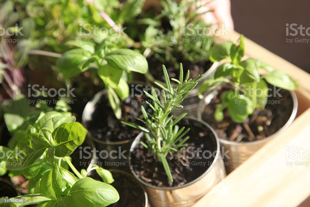 Herb Seedlings royalty-free stock photo