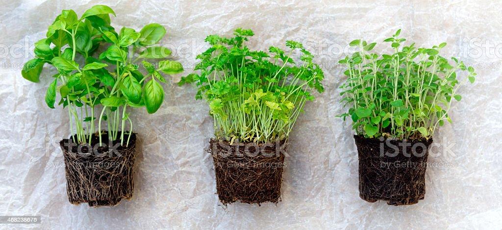 Herb  Seedlings stock photo