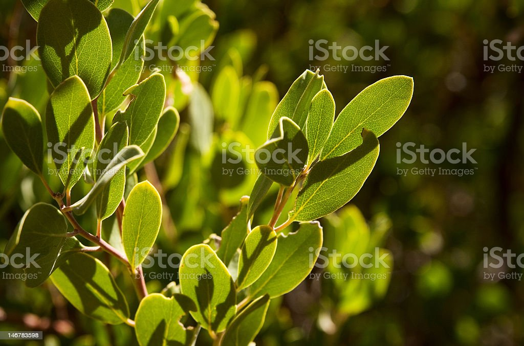 Herbal Bearberry Leaves stock photo