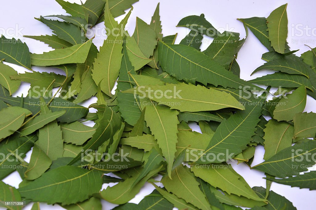 Herbal Neem Leaves Isolated on White Background stock photo
