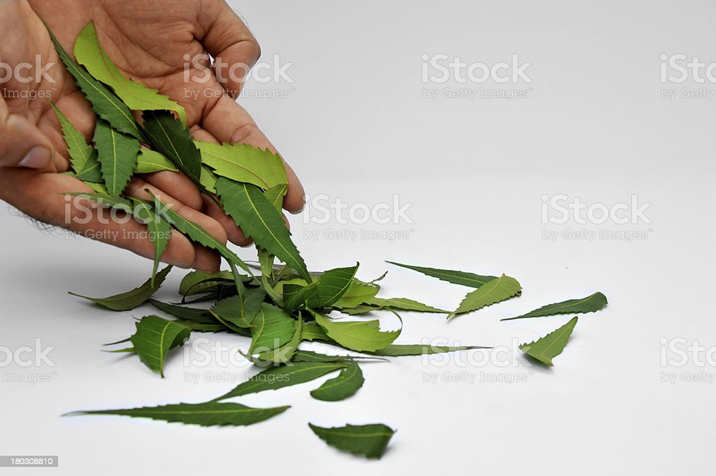 Herbal Neem Leaves with human hand Isolated stock photo