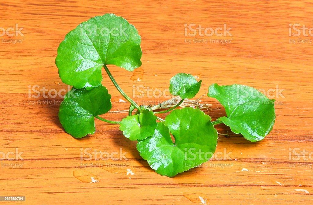 Herbal thankuni leaves stock photo