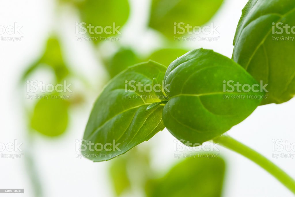 Herbals in garden - Basil royalty-free stock photo