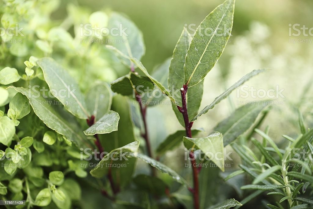 Herbs close-up royalty-free stock photo