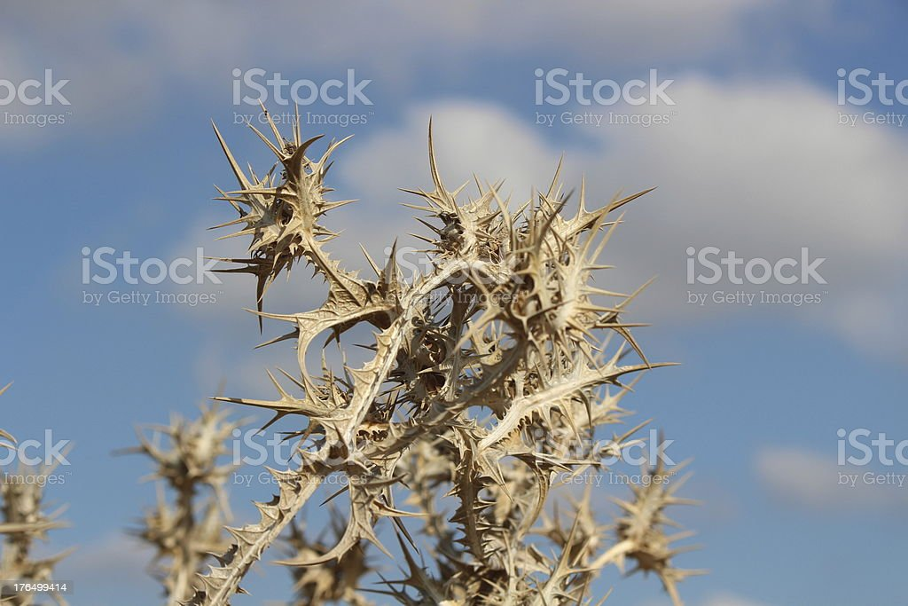 Herbs Dry Milk Thistle royalty-free stock photo