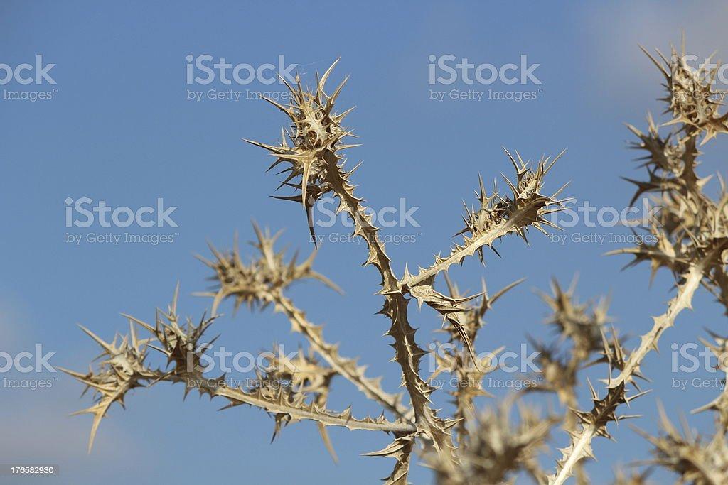 Herbs Dry Milk Thistle stalks royalty-free stock photo