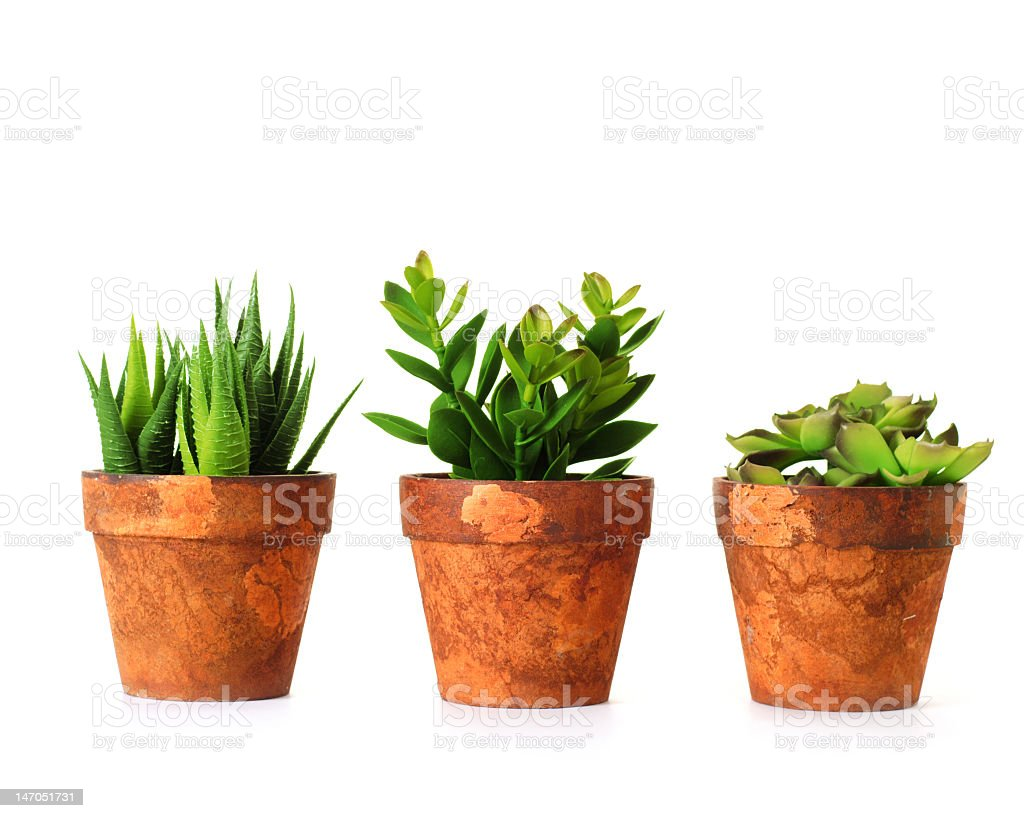 3 herbs in separate pots on white background stock photo