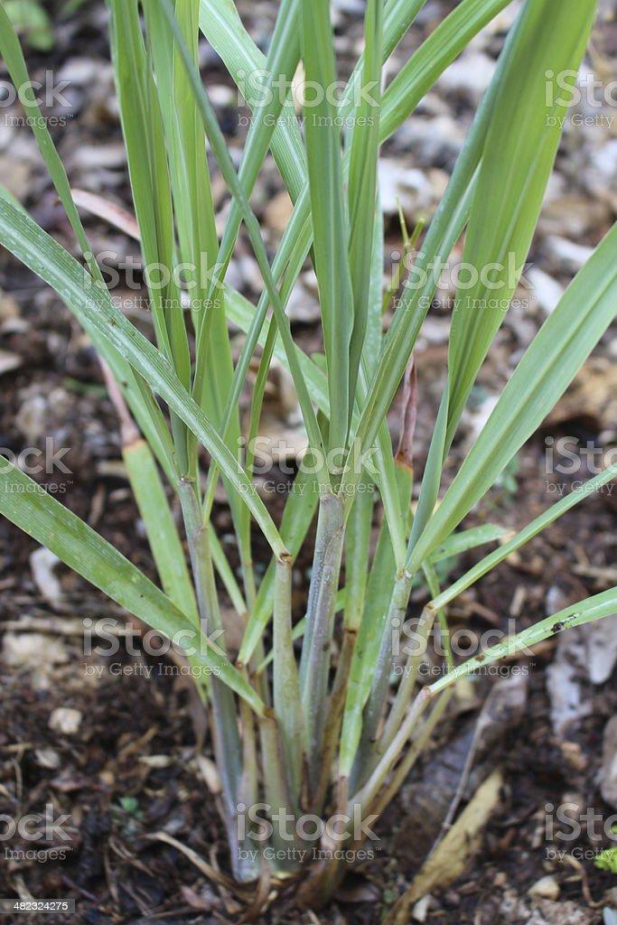 Herbs Lemon grass royalty-free stock photo