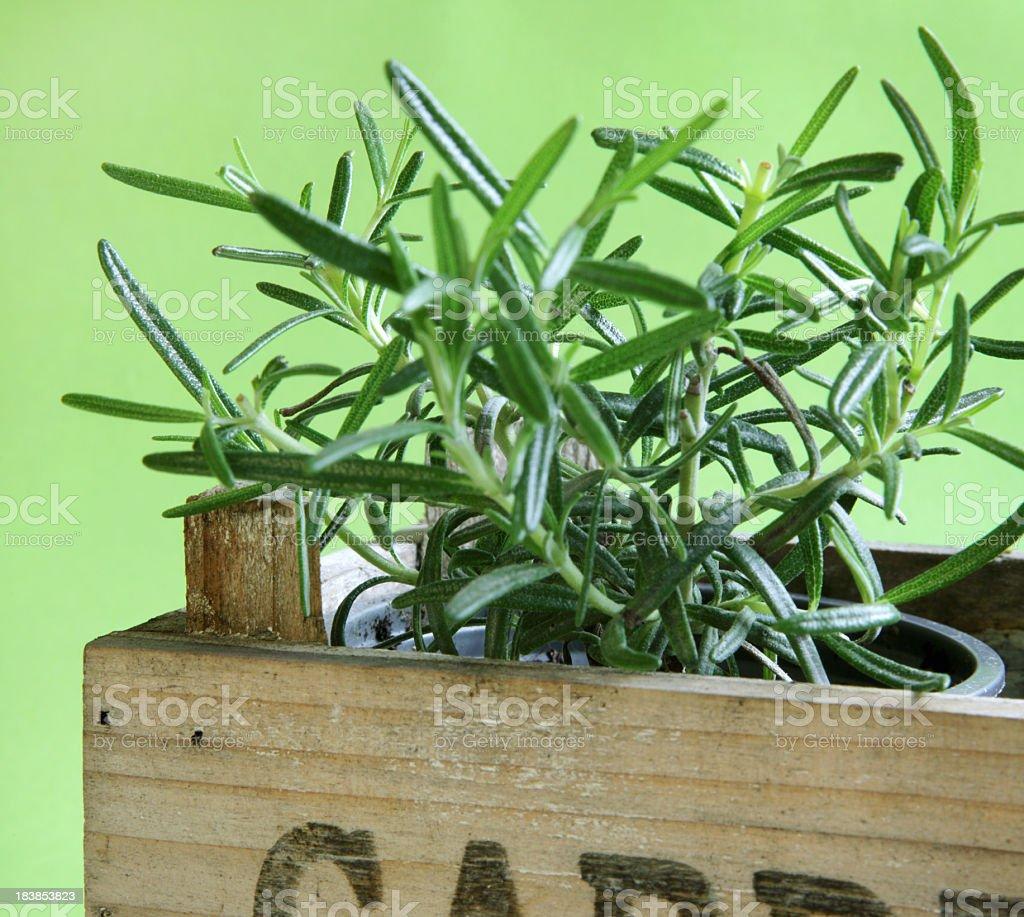 Herbs - Rosemary royalty-free stock photo