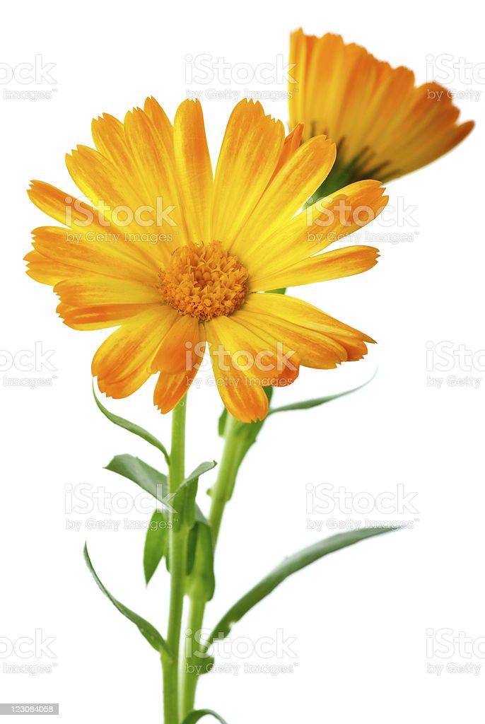 Plantas aromáticas: Dois calendula Flores foto de stock royalty-free
