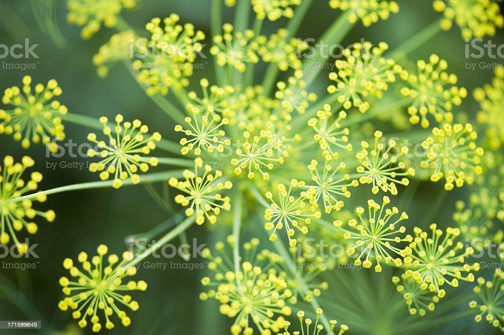 Herbs-Dill royalty-free stock photo
