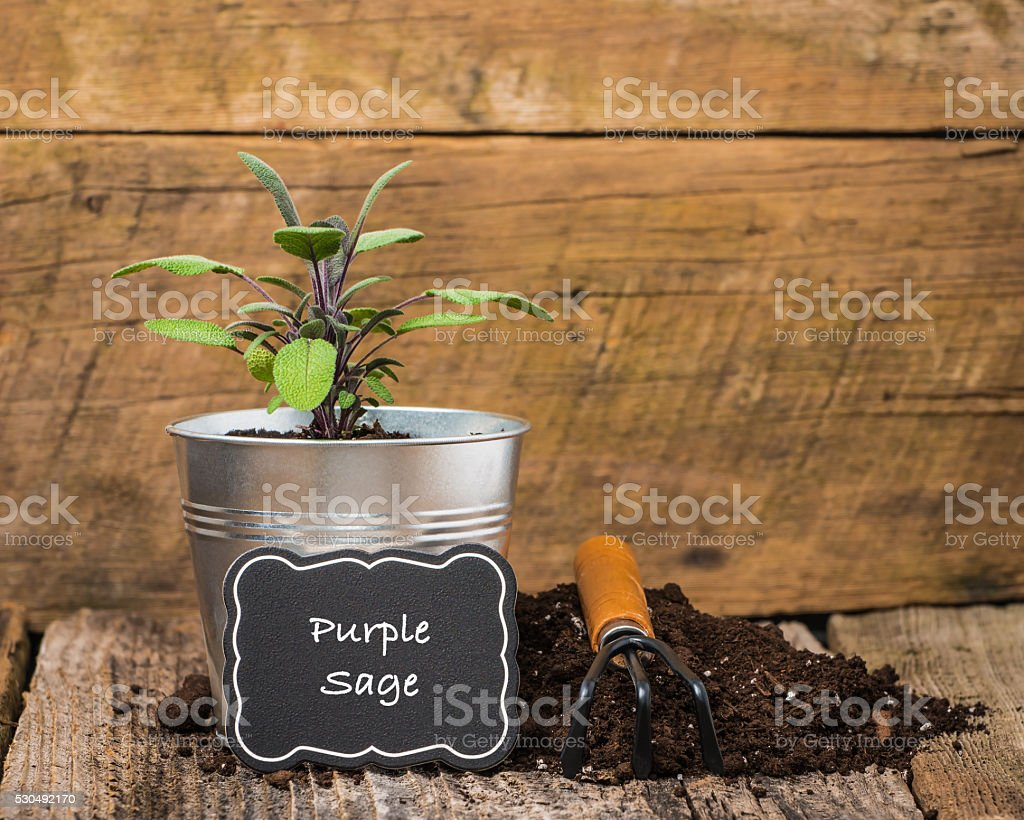 Herbs-Purple Sage stock photo