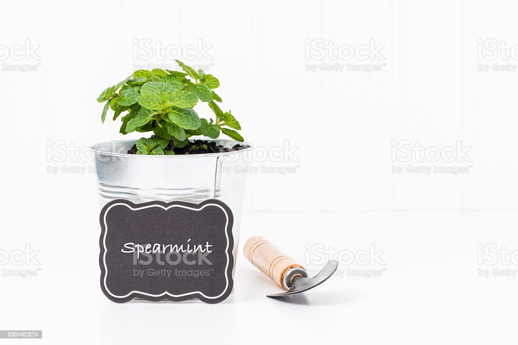 Herbs-Spearmint stock photo