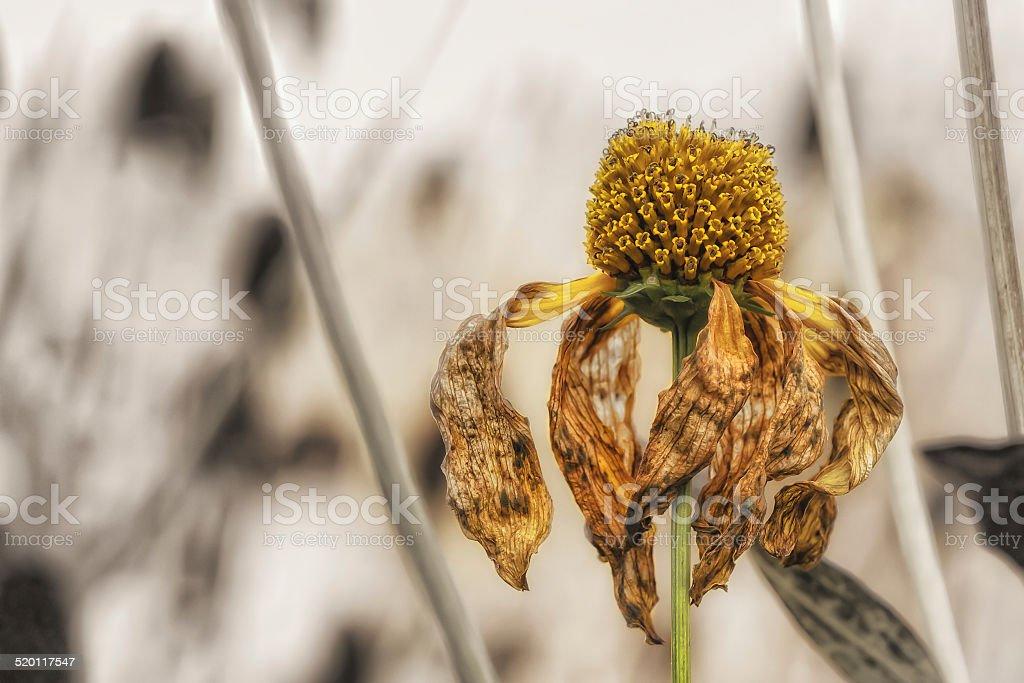 Herbst einzelne gelbe Blume, verwelkt, verbl?ht stock photo