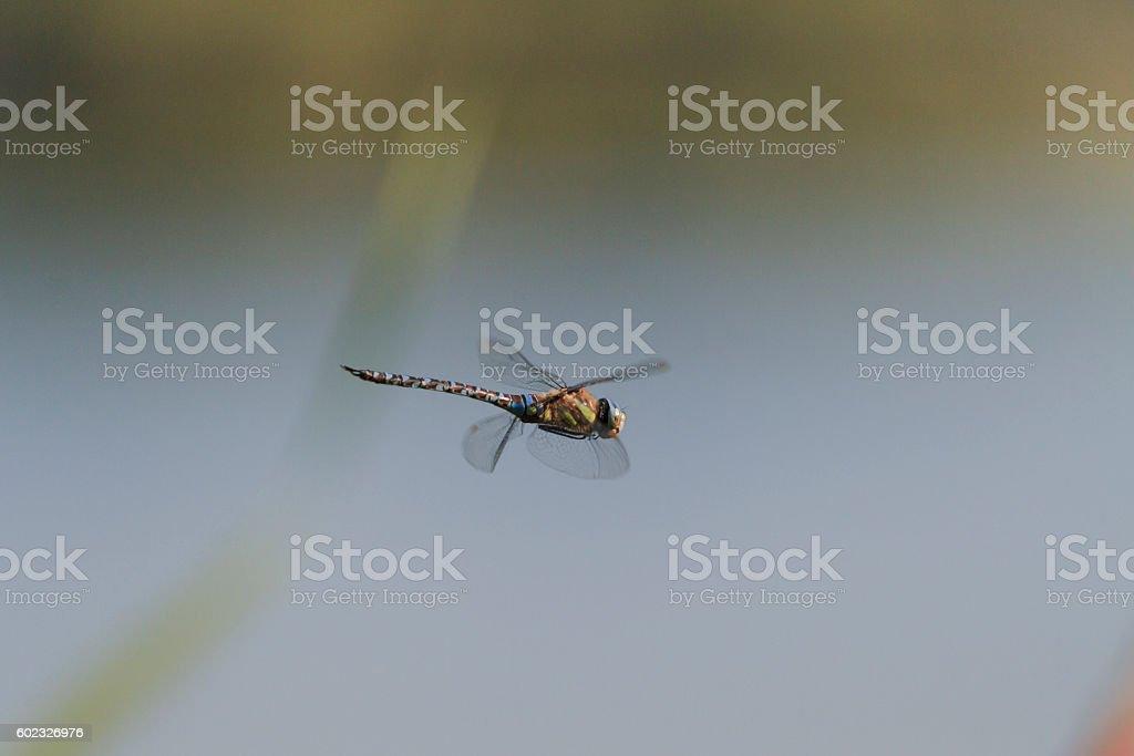 Herbst Mosaikjungfer im Flug stock photo