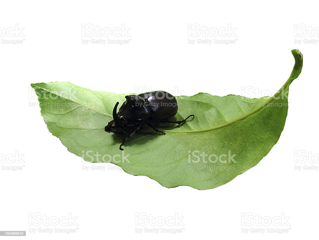 hercules beetle on leaf stock photo