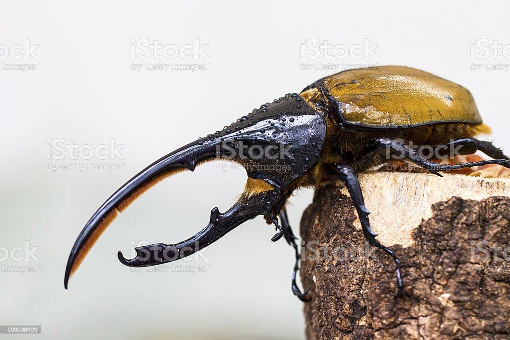 Hercules Beetle stock photo