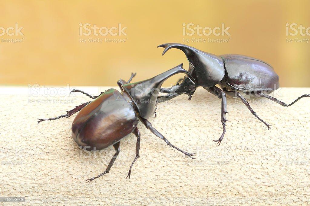 Hercules beetle, the warrior of scarab fighting stock photo