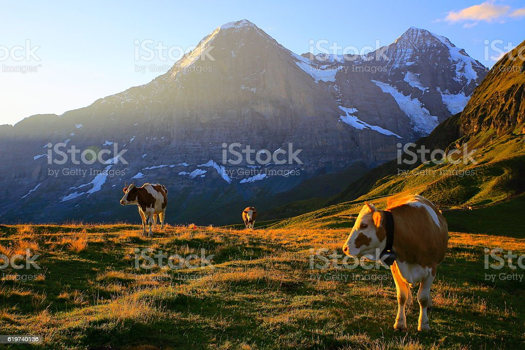 Herd cows, Eiger and Monch, Grindelwald: Swiss Alps sunny sunrise stock photo