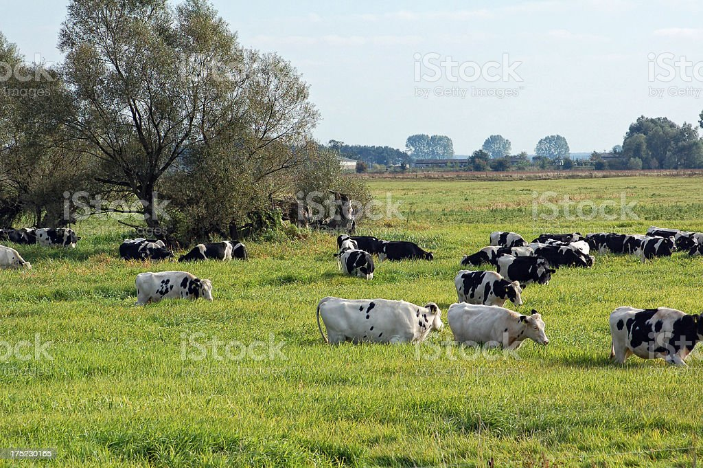 herd Dairy Cattle at meadow stock photo