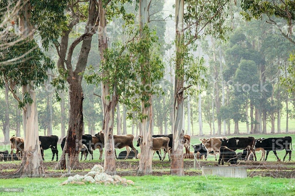 Herd in the Rain stock photo
