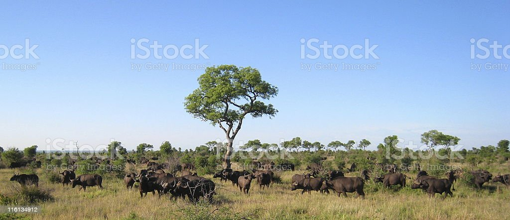 Herd of 300 Water Buffalos in Kruger National Park royalty-free stock photo
